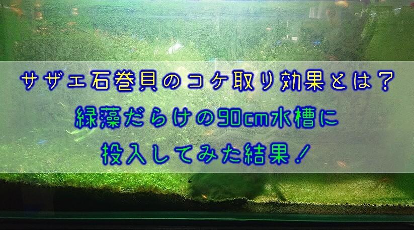 サザエ石巻貝のコケ取り効果とは?緑藻だらけの90cm水槽に投入してみた結果!